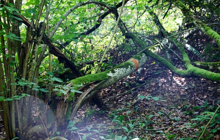 Orange ledmarkering på omkullfallet träd.