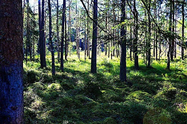 Solen letar sig in i skogen och gör den trolsk.