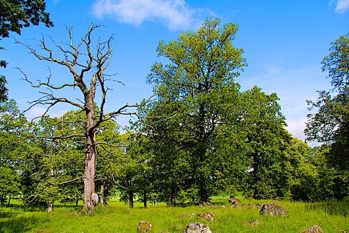 Kontraster. Grönskande träd mot ett dött avskalat träd.