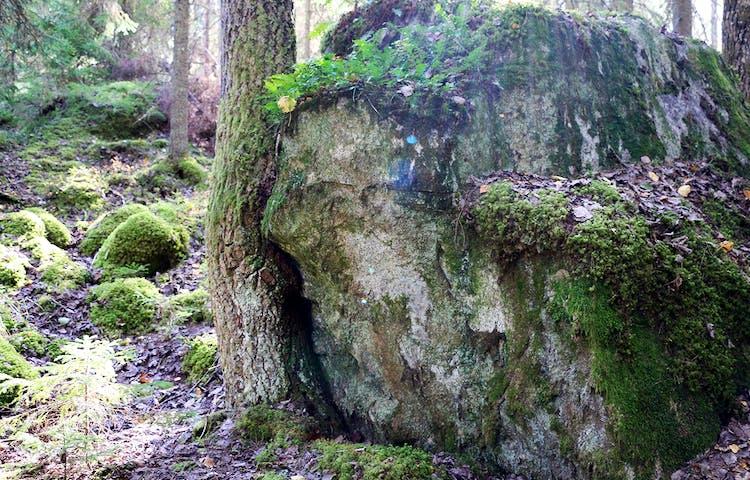 Träd som böjer sig för sten.