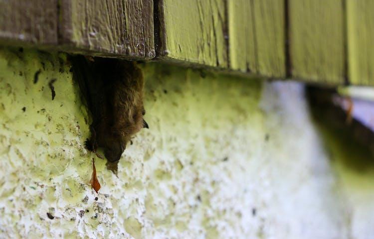 Fladdermus sitter under en träplanka intill en betonggrund.