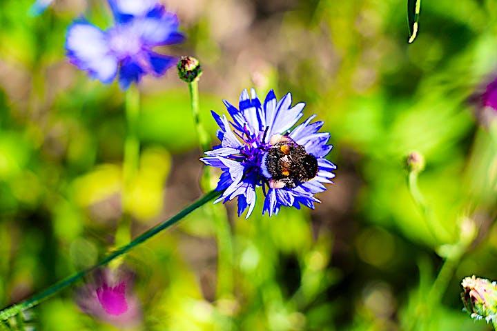 En humla på en blåklint. Humlan har samlat pollen på bakbenen.
