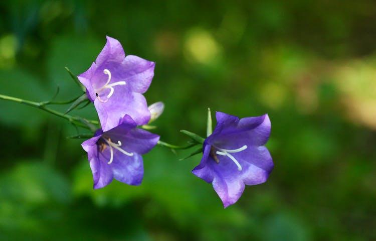 En blåklocka med tre stora blommor.