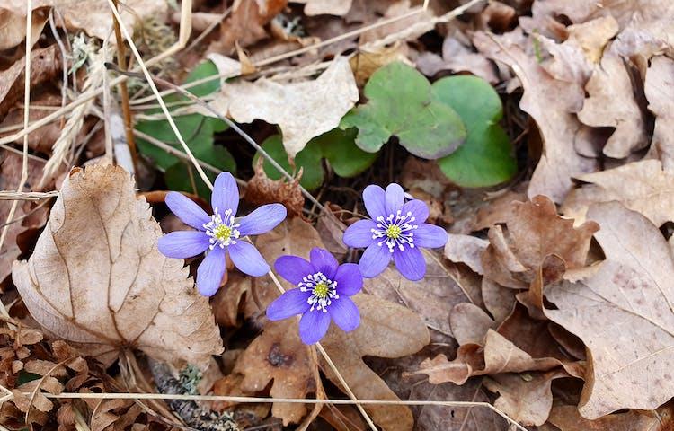 Tre blå-lila blommor med gula pistiller.