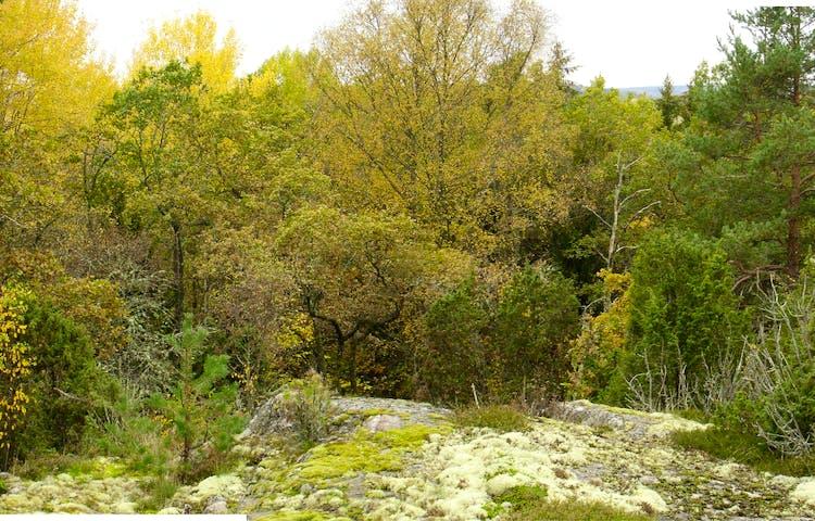 Mossbeklädd berghäll med skogen i bakgrunden.