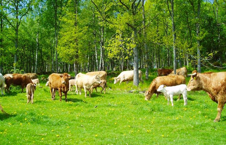 Kor på en grön äng.