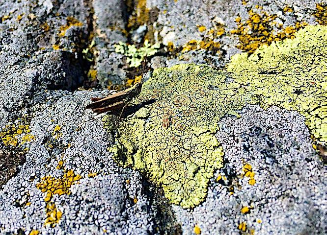 En syrsa på en sten.