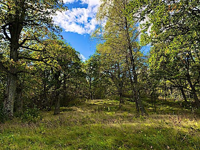 Ädellövträd som växer på Bogesunds, naturreservat strax utanför Vaxholm.
