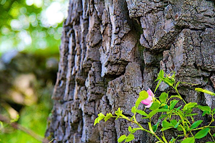 Nyponblom framför ett gammalt träd.