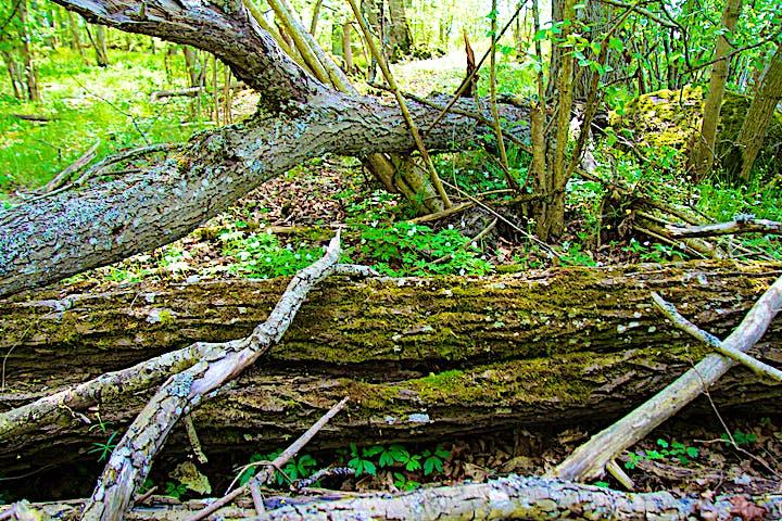 Döda träd med vitsippor växande runtomkring.