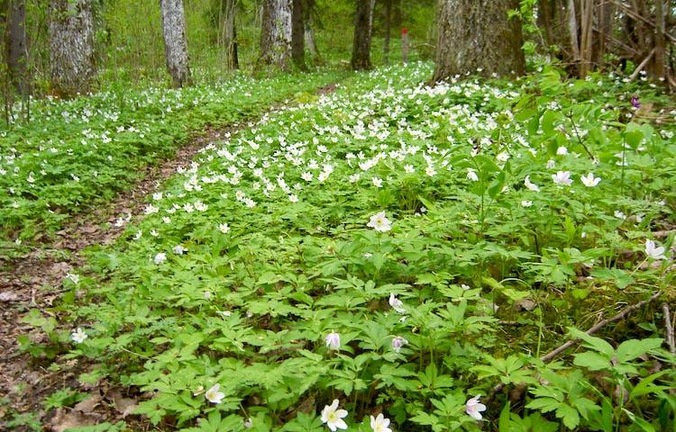En skogsstig med mängder av vita blommor på båda sidorna.