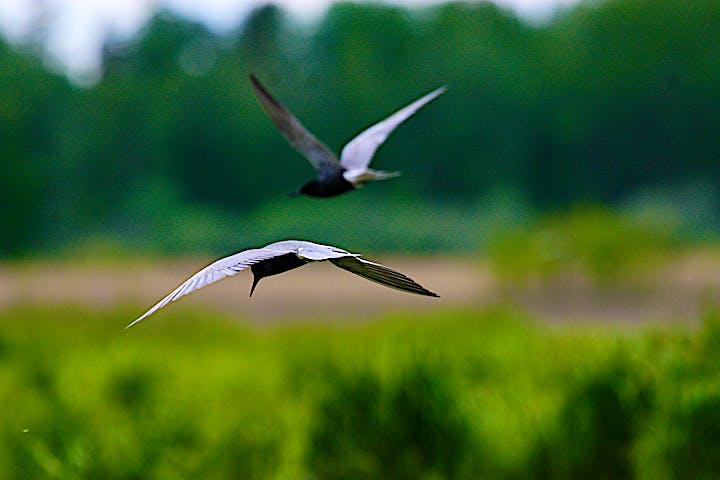 Två flygnade svarttärnor fotade bakifrån.
