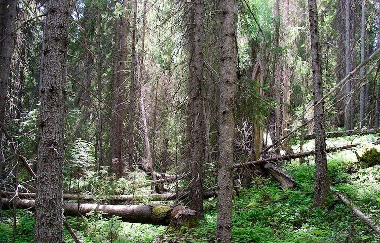 Bild på skogsmiljö i reservatet