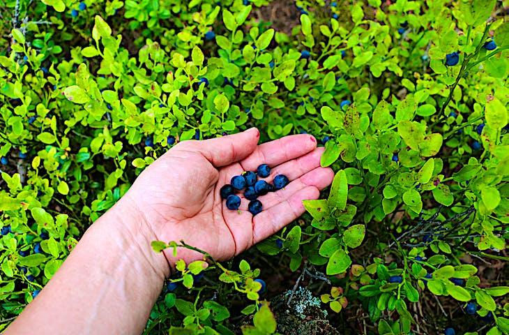Kupad hand med blåbär, runtomkring växer blåbär.