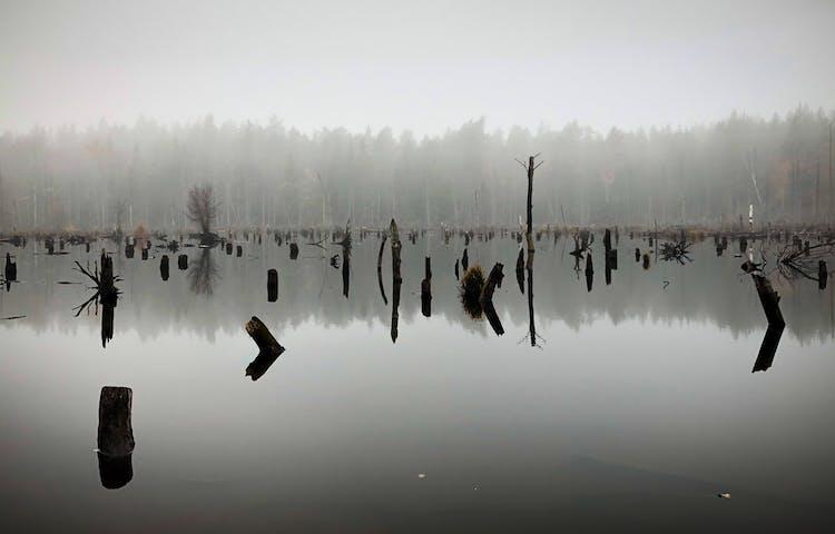 Stubbar från träd sticker upp ur dammens vatten.