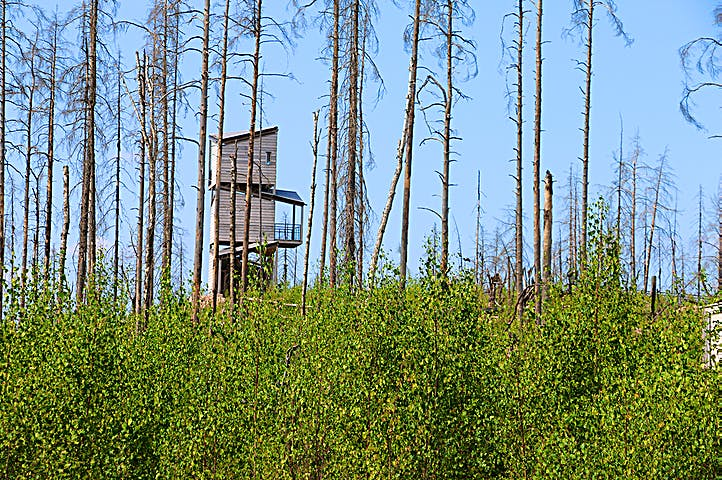 Utsiktstorn i trä bland brända trädtoppar och grön sly.